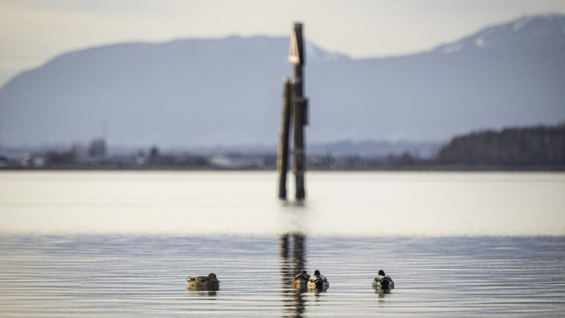 A group of ducks on the water at Blackie Spit Park.