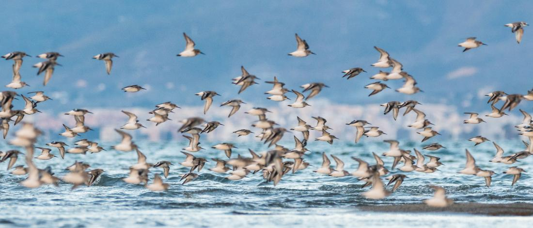 Flock of Dunlins flying over the water